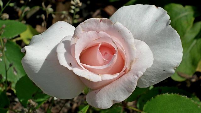 Róże: zasady uprawy