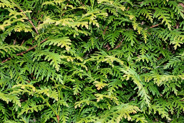 Tuja szmaragd – sadzenie, pielęgnacja i podlewanie
